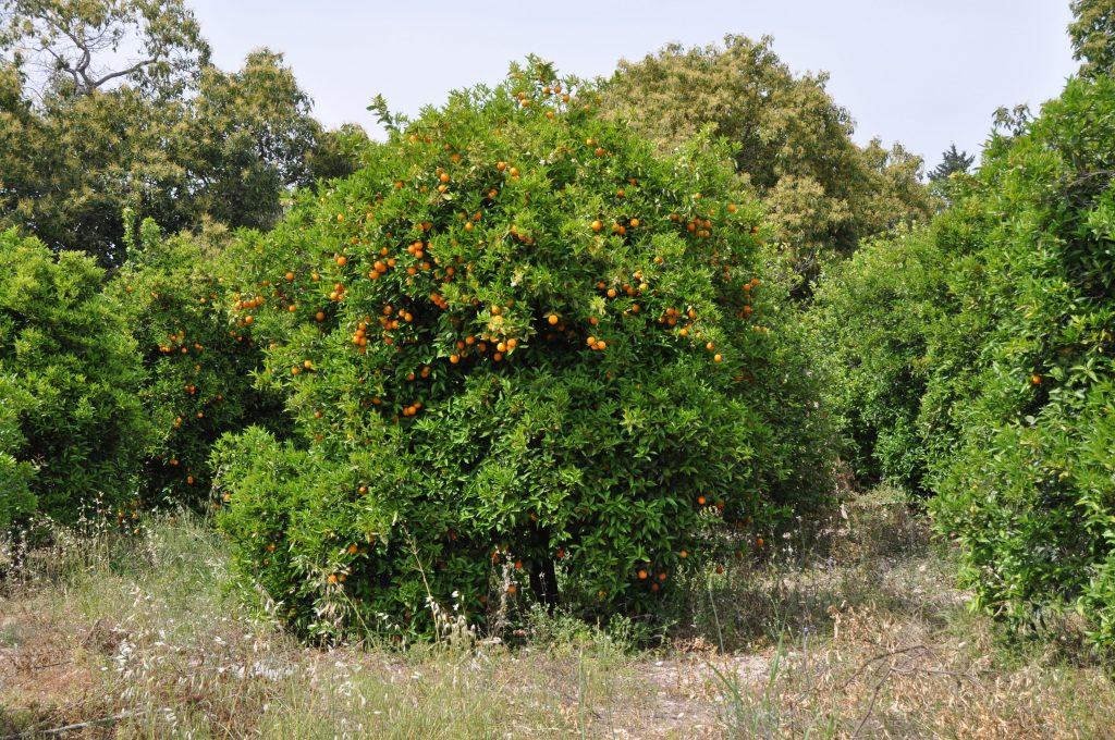 Мандариновые деревья по дороге Кириш - Кемер