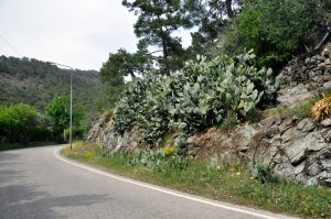 Заросли кактусов по дороге Кириш - Кемер